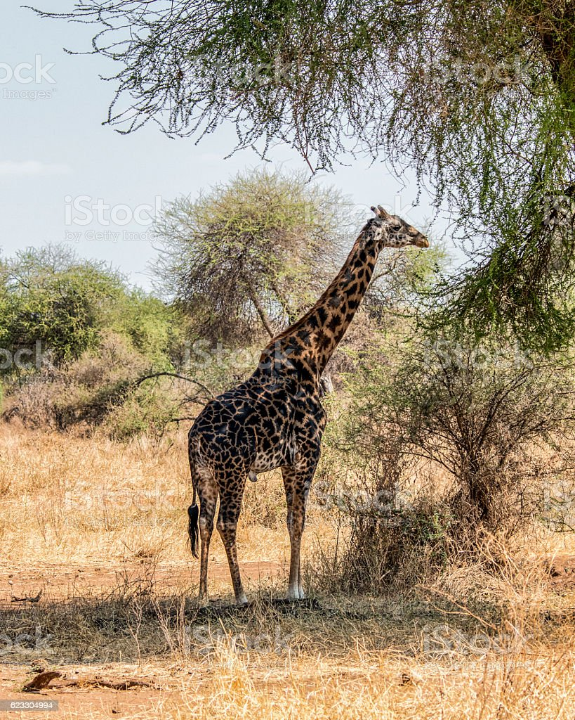 Mara giraffe in Tarangire National Park stock photo