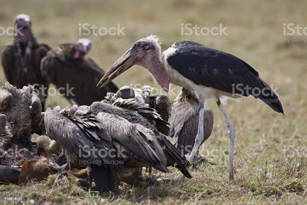 Marabou and vuktures royalty-free stock photo