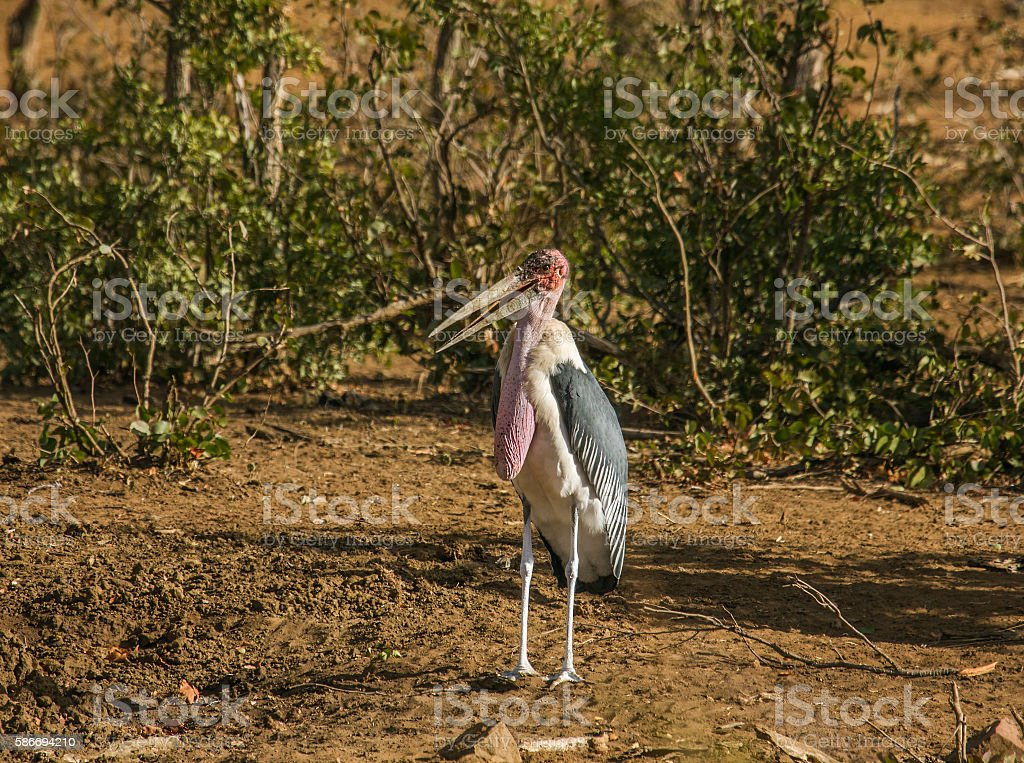 marabou stork in the riverbank stock photo
