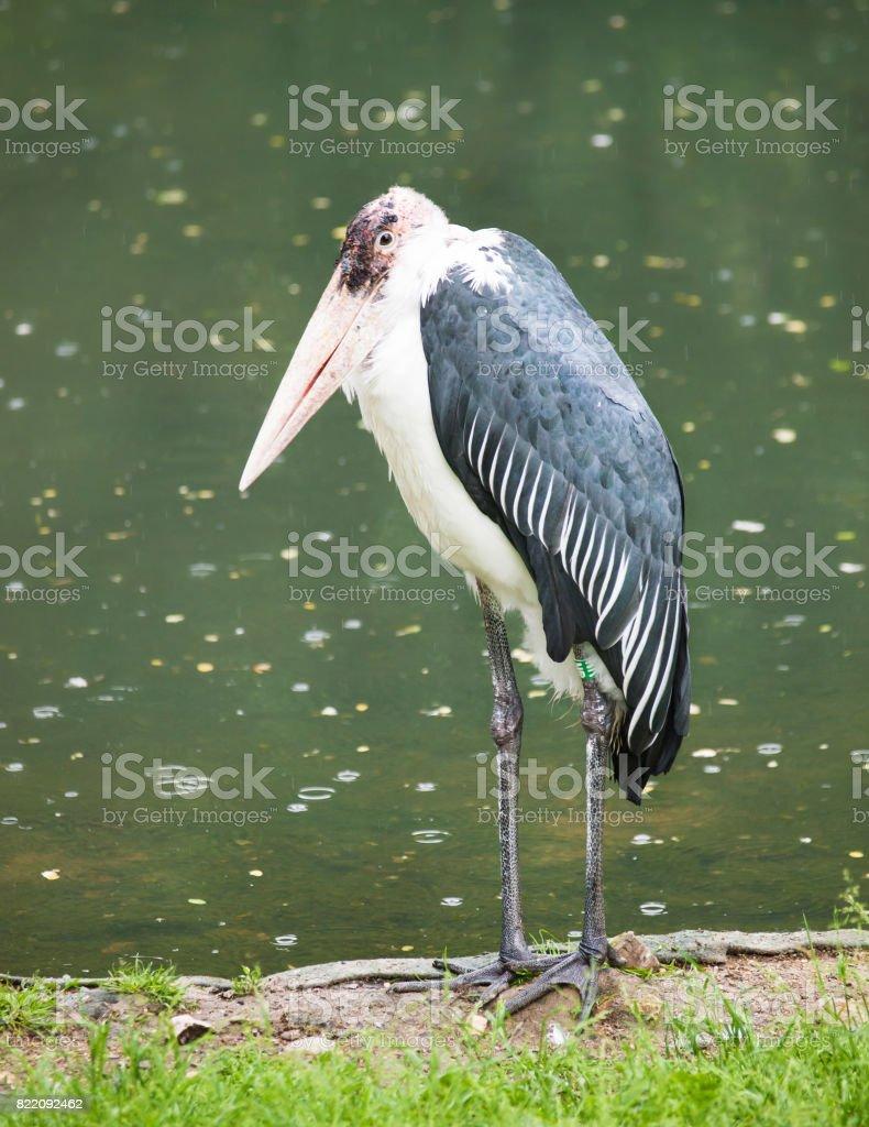Marabou stork -  Leptoptilos crumeniferus stock photo