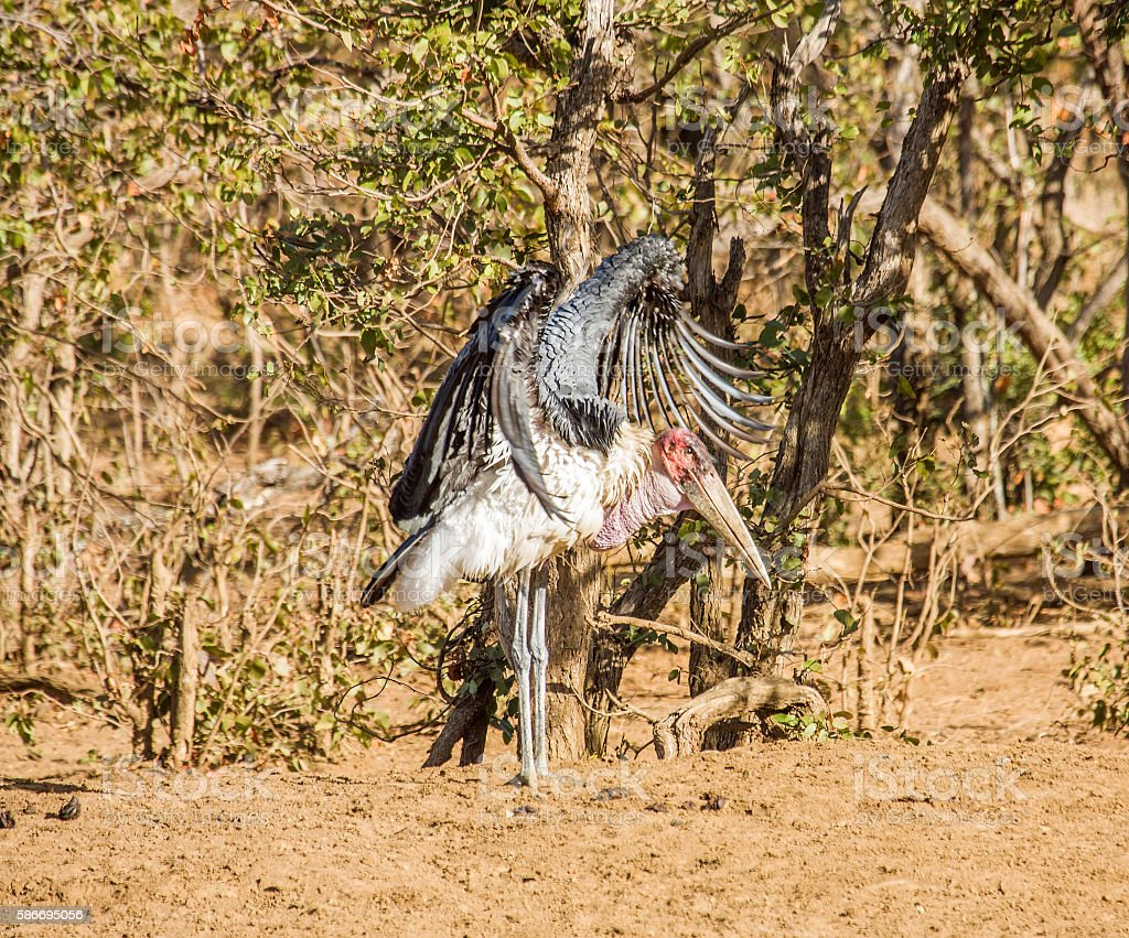 marabou stork opening wings in Kruger park stock photo