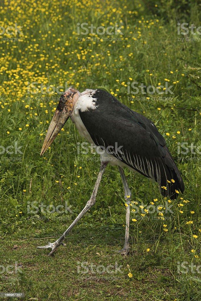 Marabou Stork stock photo