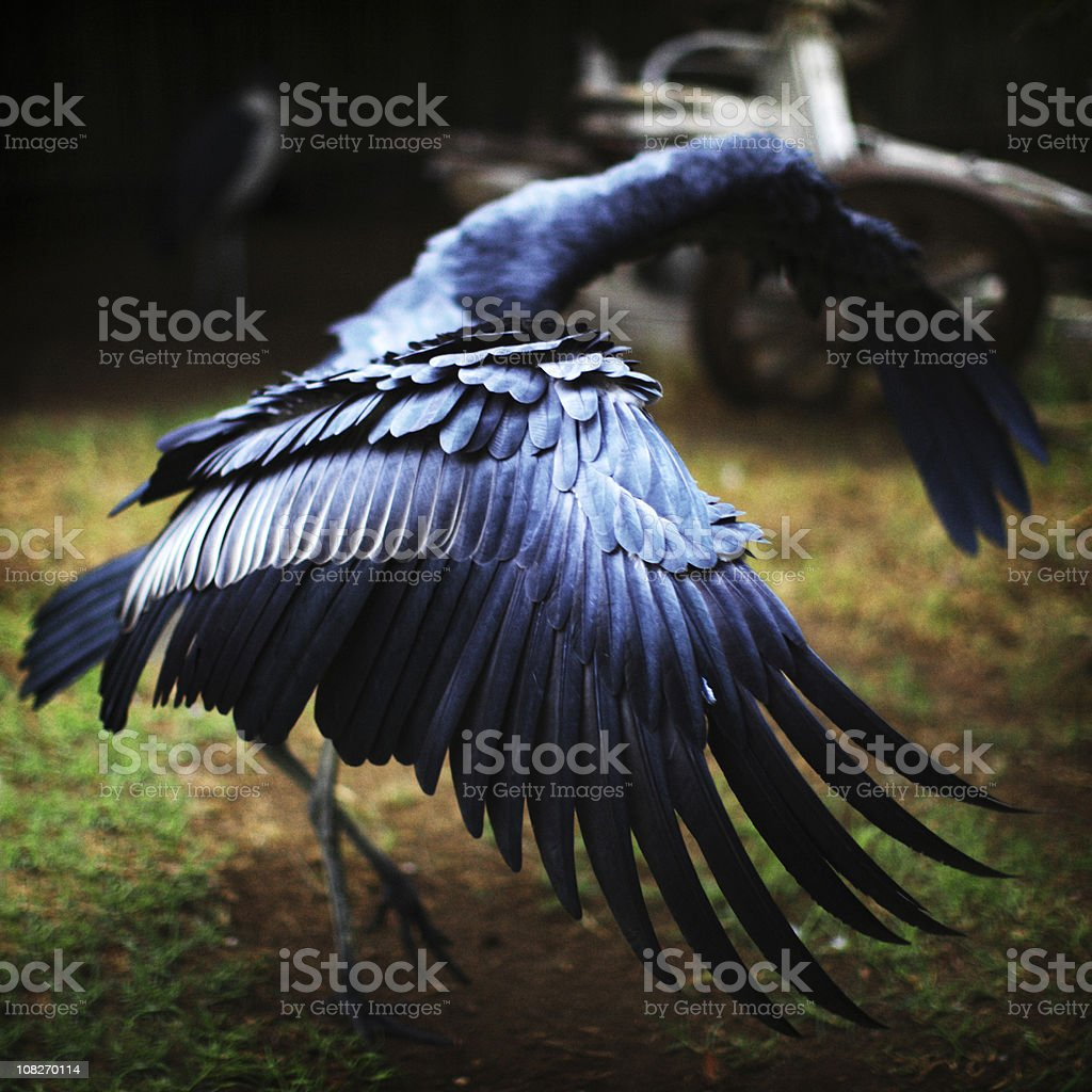 Marabou Stork Stretching Wings Out royalty-free stock photo