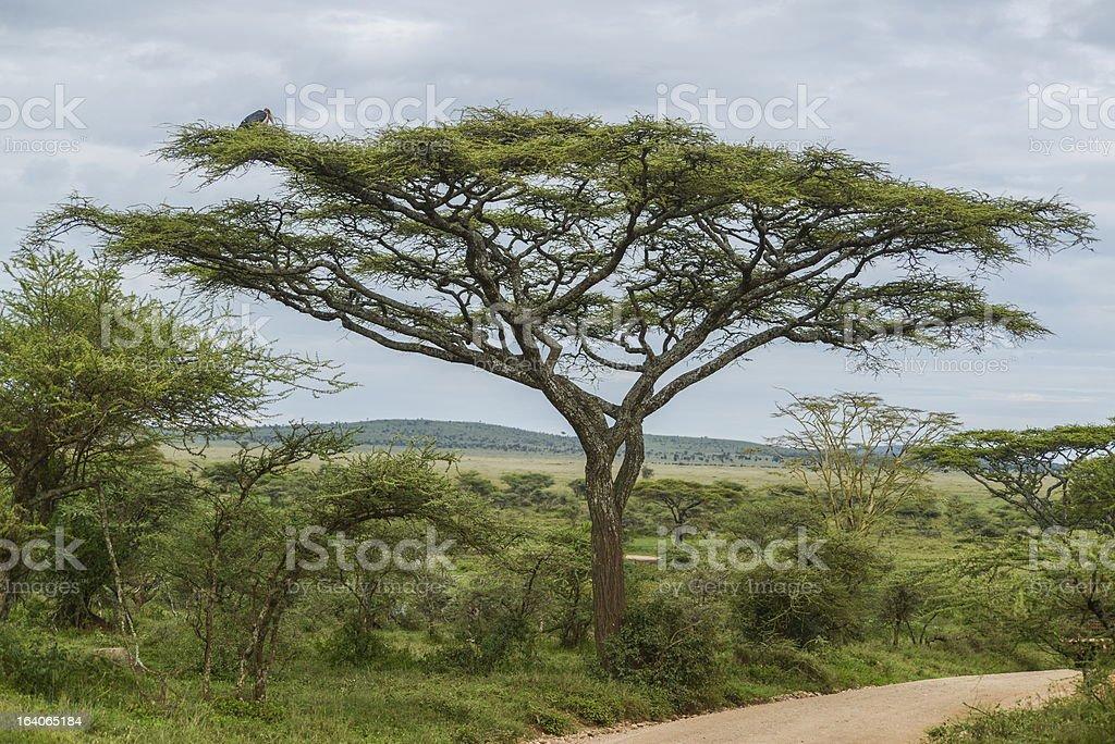 Marabu royalty-free stock photo
