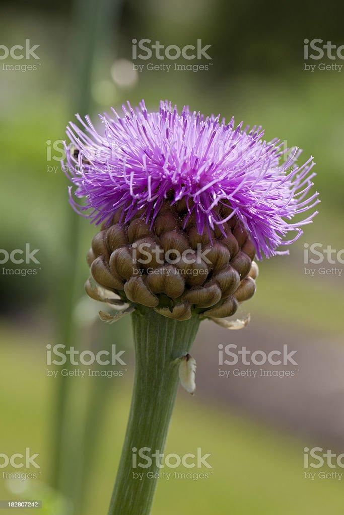 Maral Root (Leuzea rhapontica) stock photo