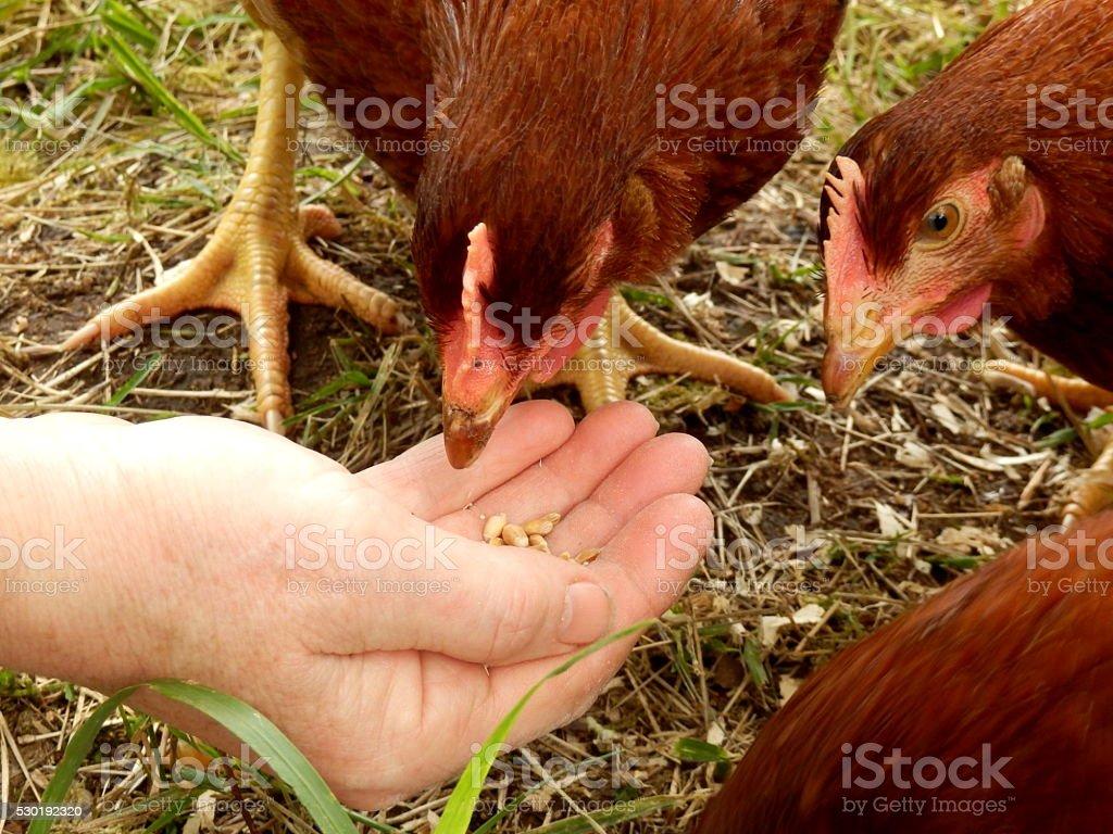 Maran Chickens Feeding stock photo