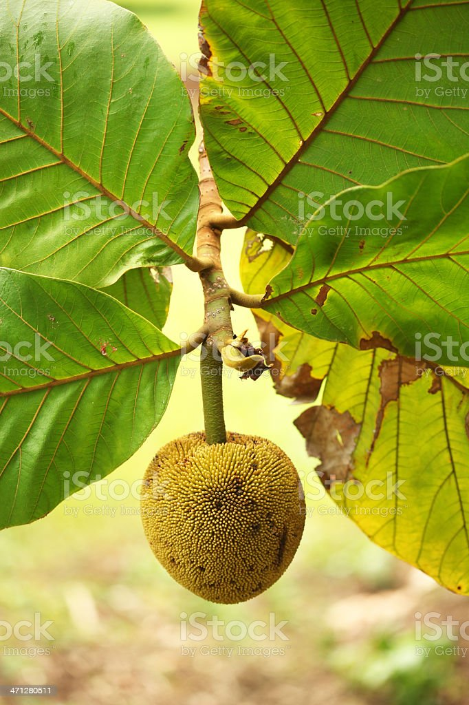 Marang stock photo