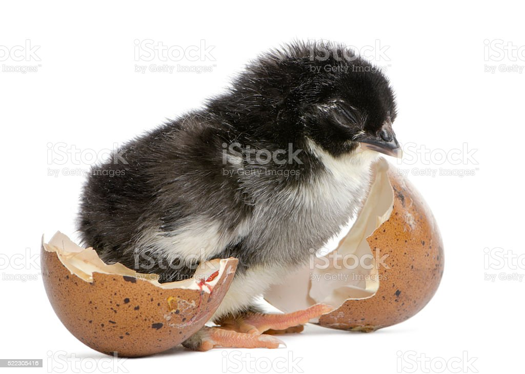 Marans chick standing next to the egg stock photo