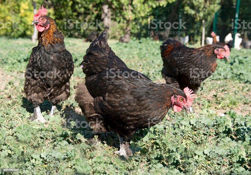 marans chicken in garden stock photo