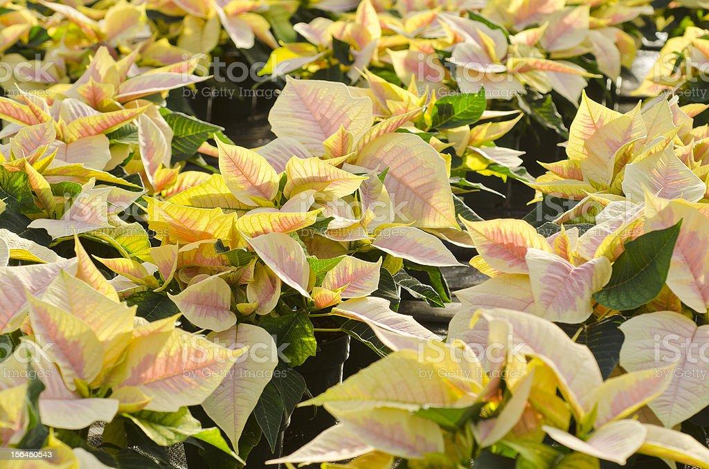 Marble Poinsettia stock photo