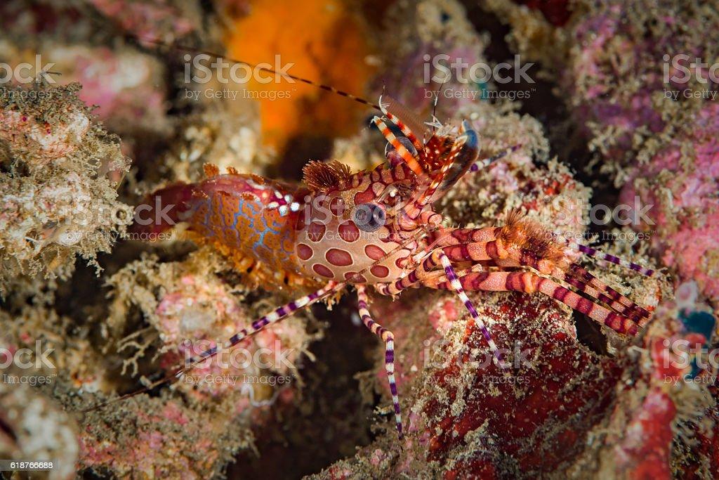 Marble Shrimp, Saron sp. male. stock photo