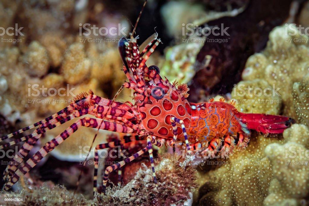 Marble Shrimp, Saron sp., male stock photo
