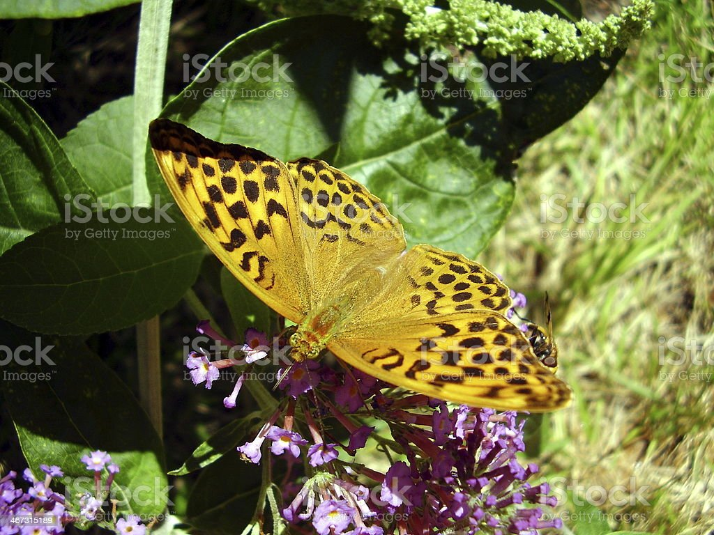 Marbled Fritillary Butterfly stock photo