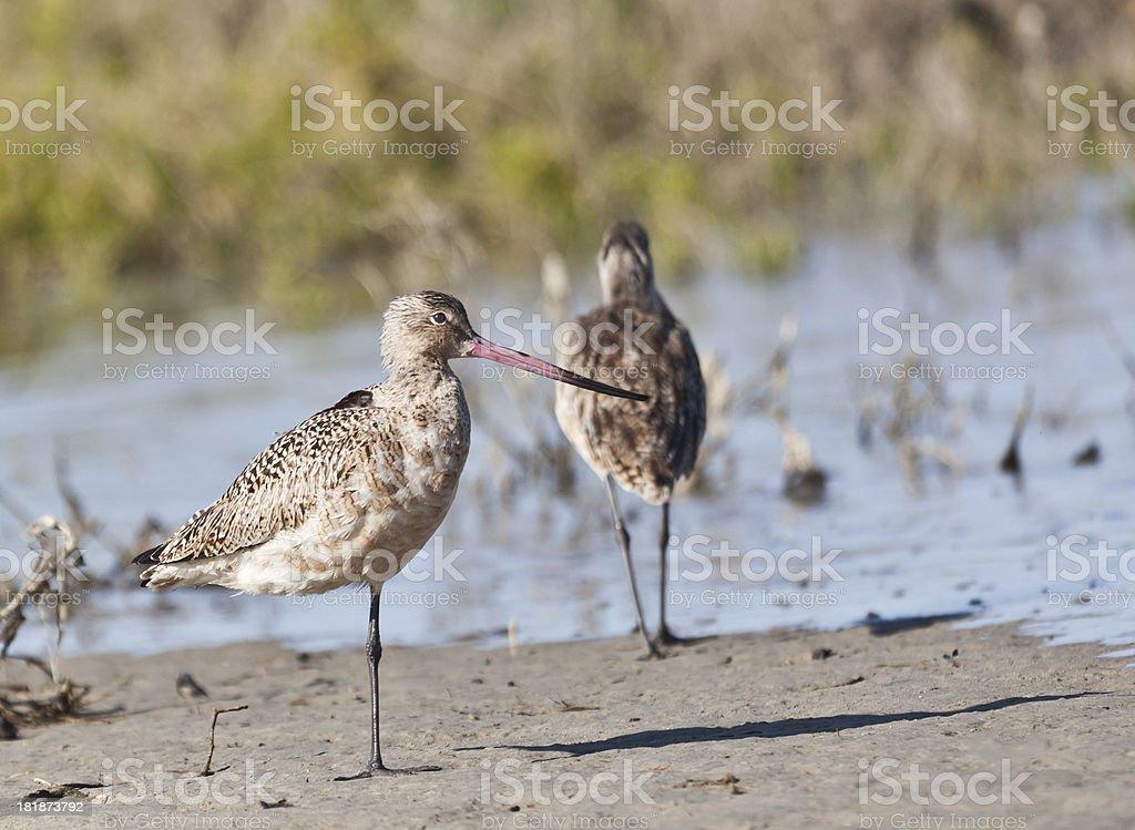 Marbled Godwit (Limosa fedoa), Laguna San Ignacio, Mexico royalty-free stock photo