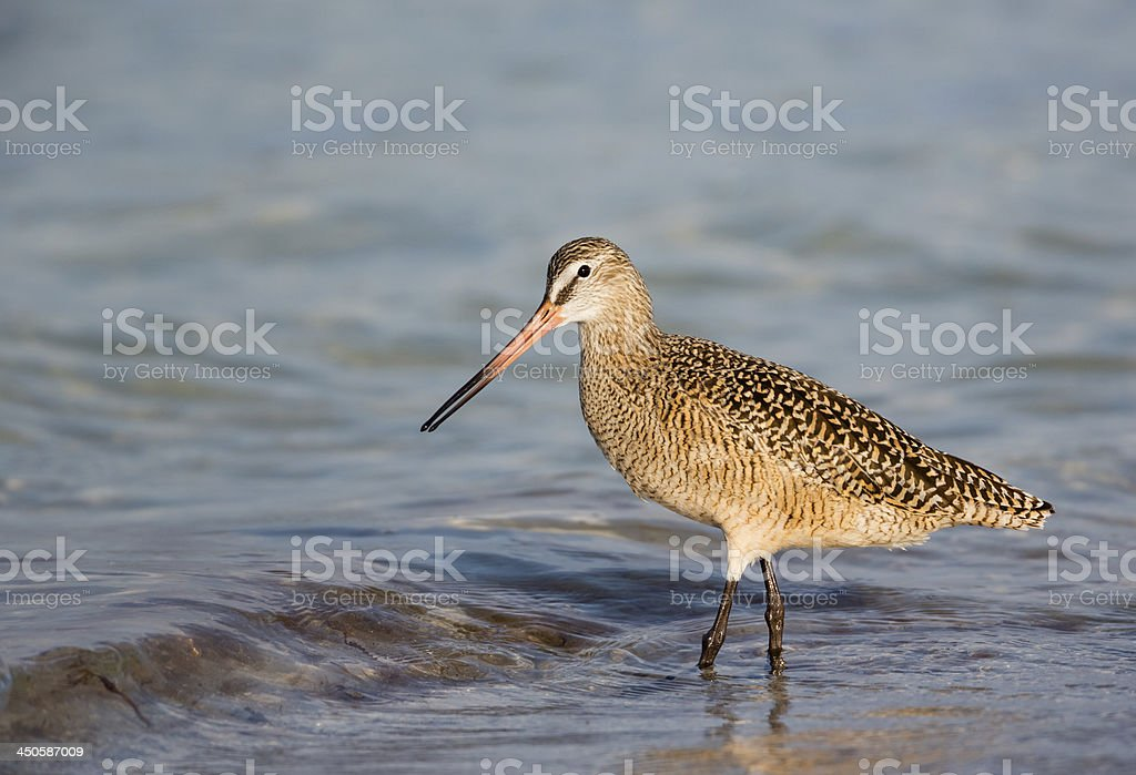 Marbled Godwit royalty-free stock photo