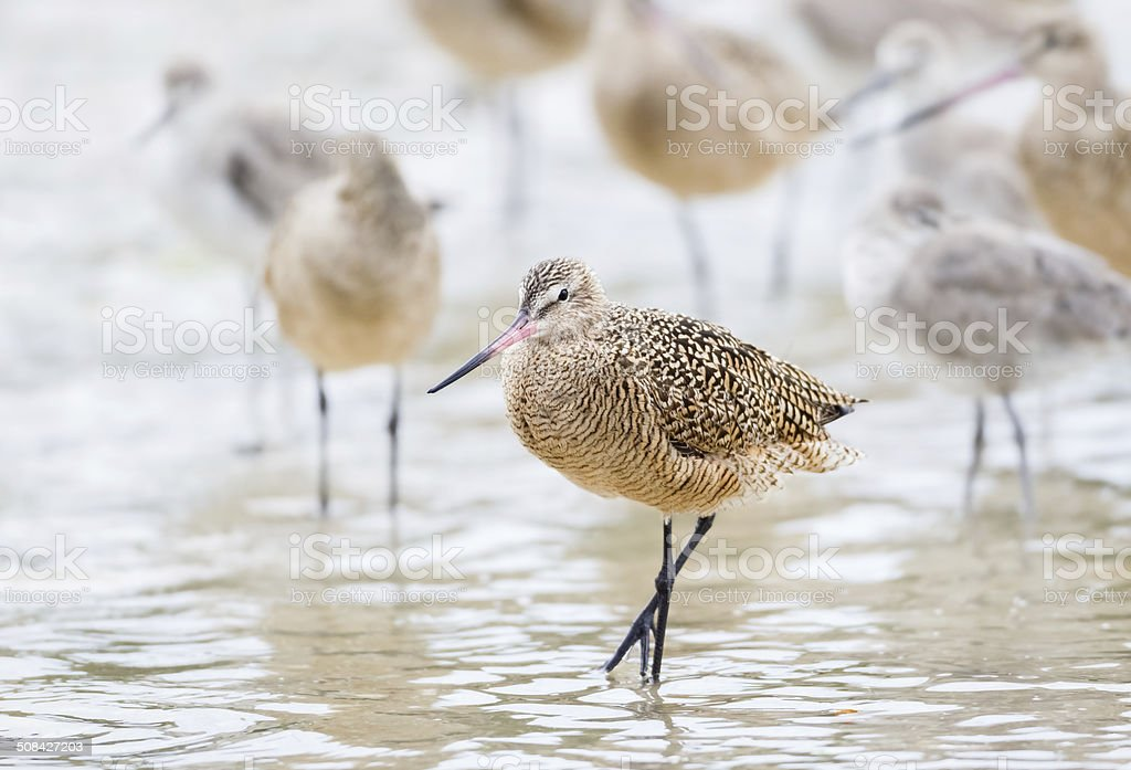 Marbled Godwits stock photo