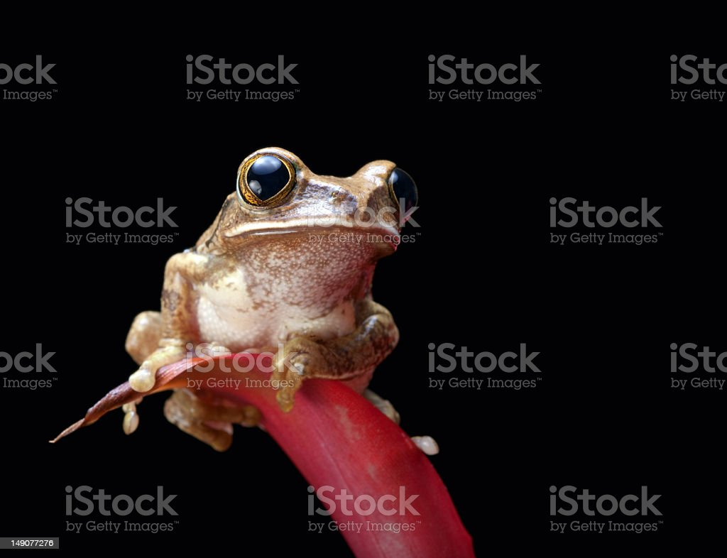 Marbled reed frog stock photo