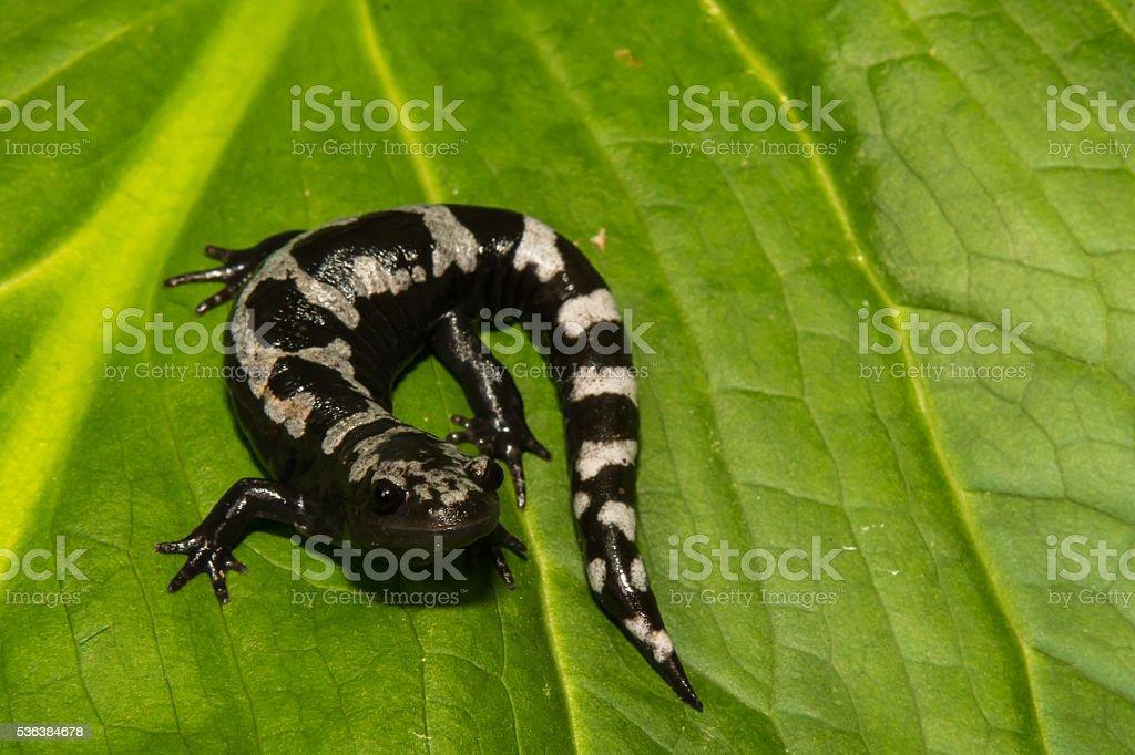 Marbled Salamander stock photo
