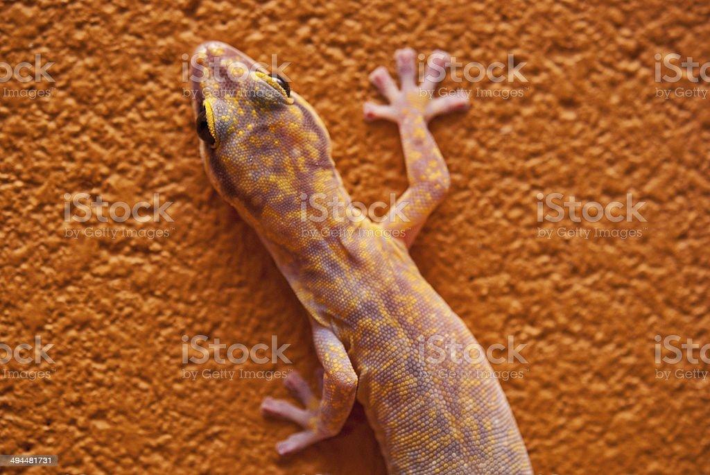 Marbled velvet gecko in central Australia stock photo