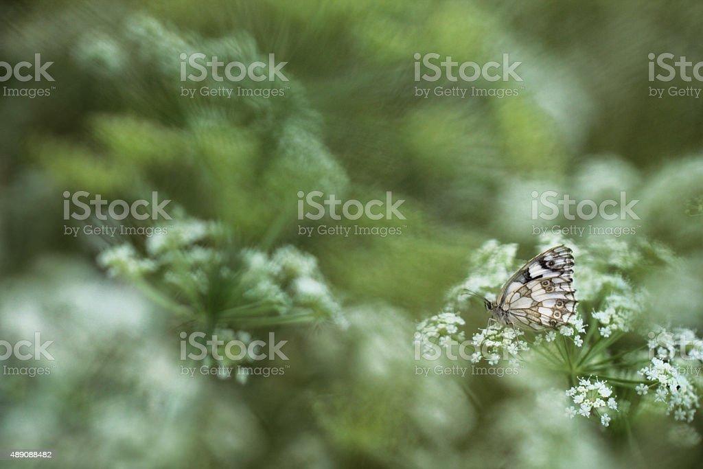 Marbled White Butterfly - Melanargia galathea stock photo