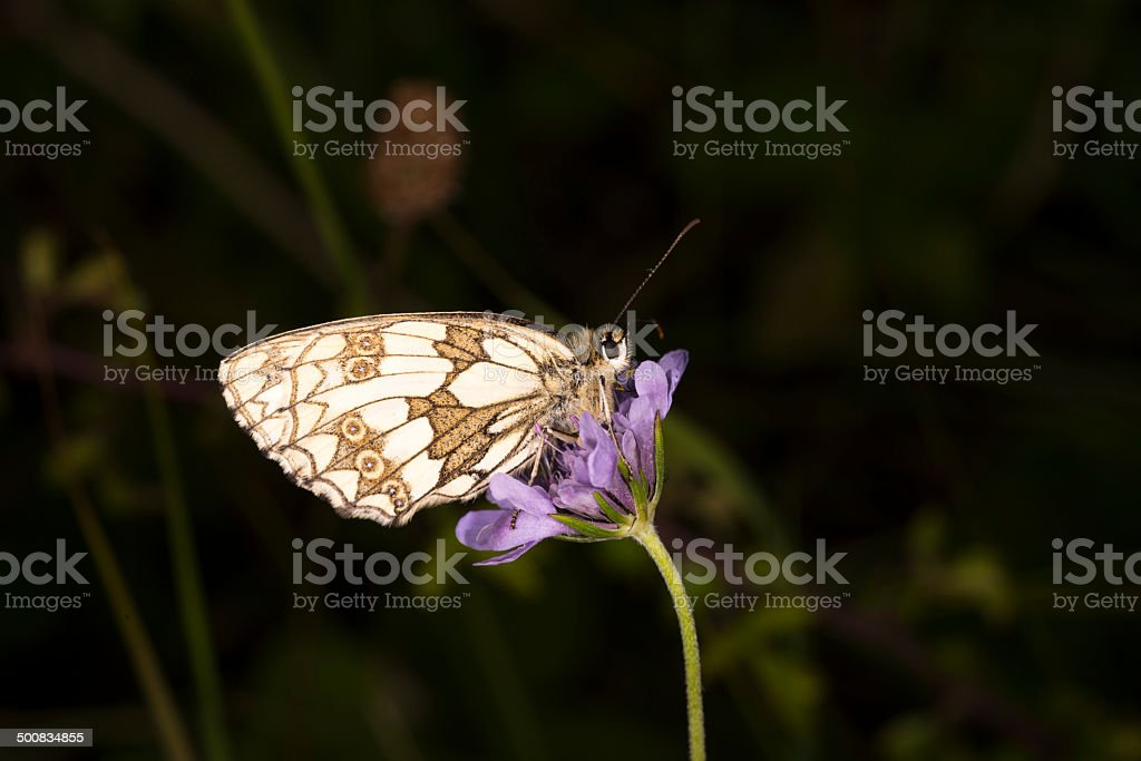 Marbled White butterfly royalty-free stock photo