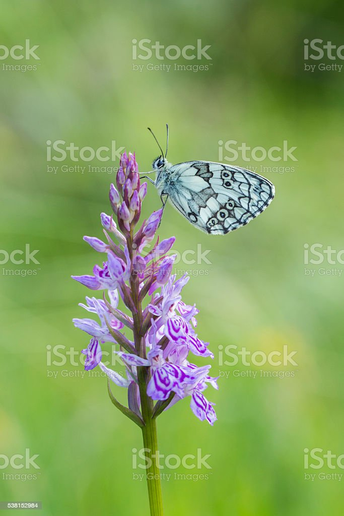 Marbled White butterfly stock photo