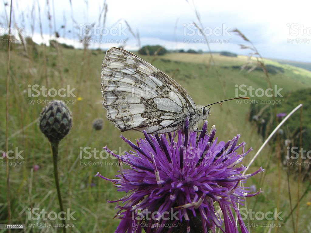 Marbled White on Krapweed on Dorset downland royalty-free stock photo
