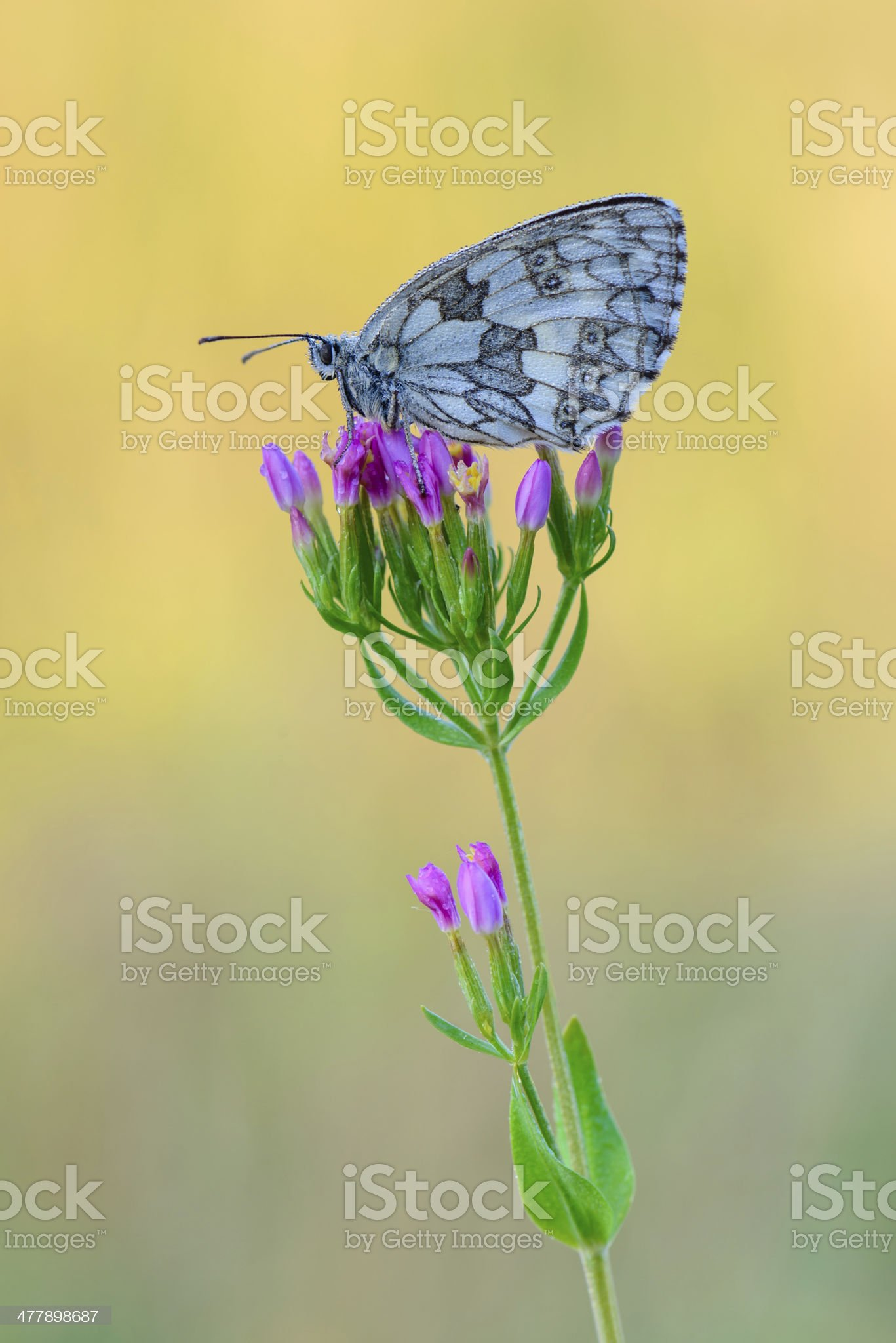 Marbled White royalty-free stock photo