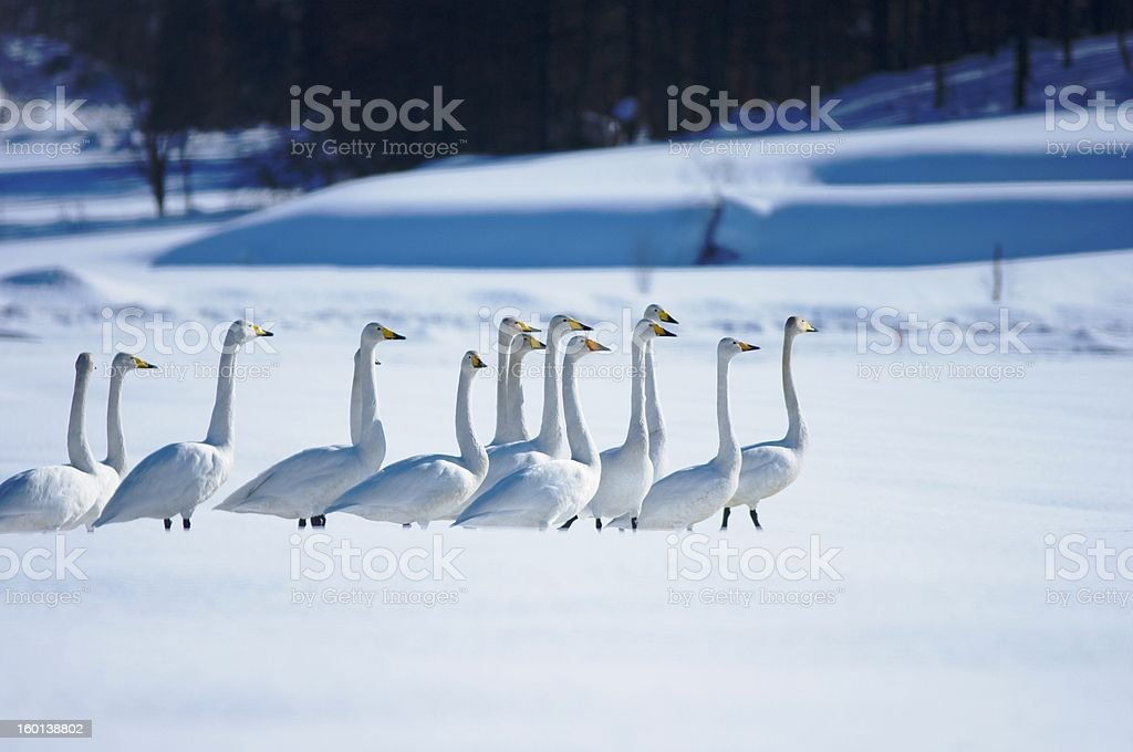 March of Swans royalty-free stock photo