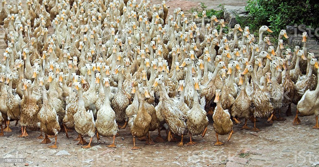 March of the ducks stock photo