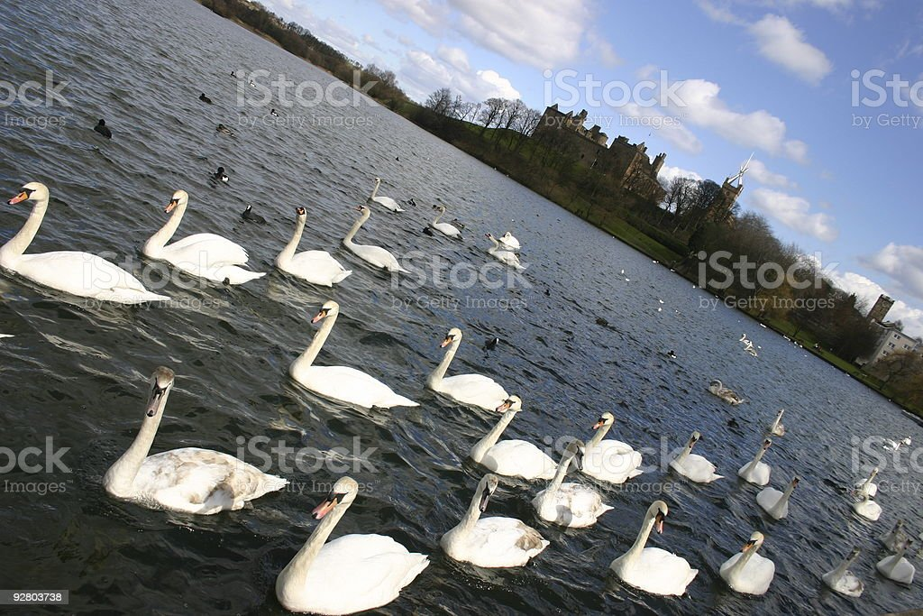 March of the swans stock photo
