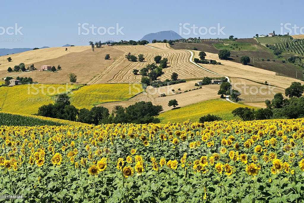 Marche (Italy), Landscape at summer with sunflowers royalty-free stock photo