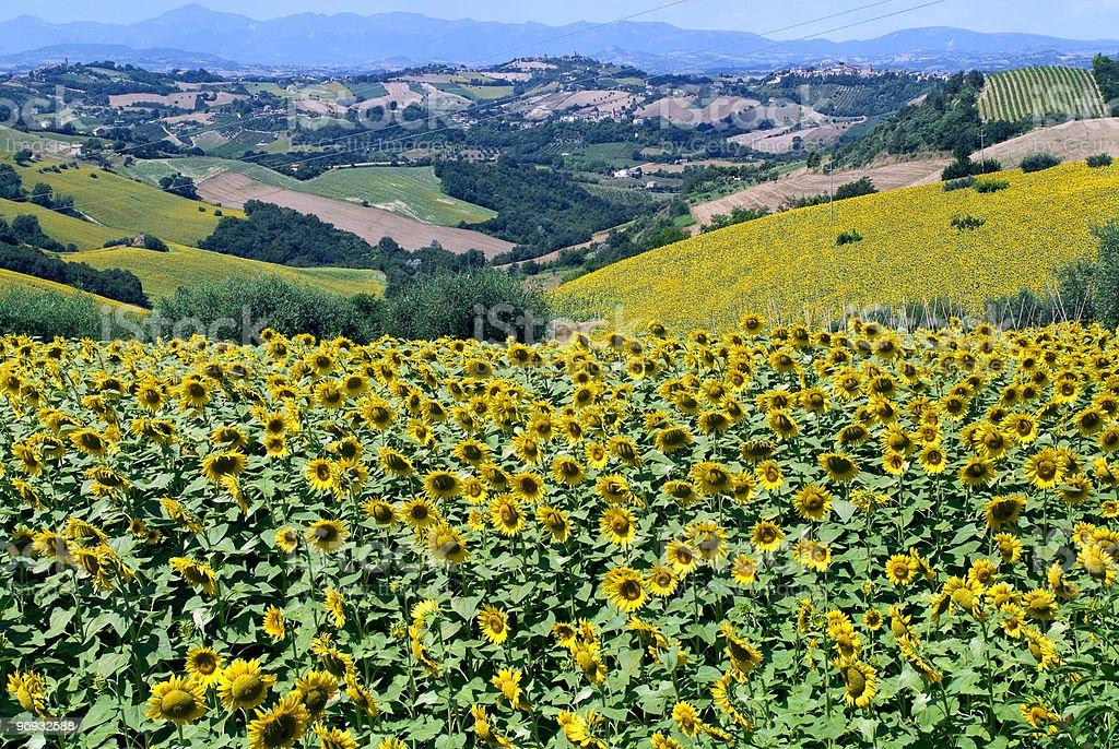 Marche Paesaggio Con Girasoli In Estate Foto di Stock 96932588 | iStock