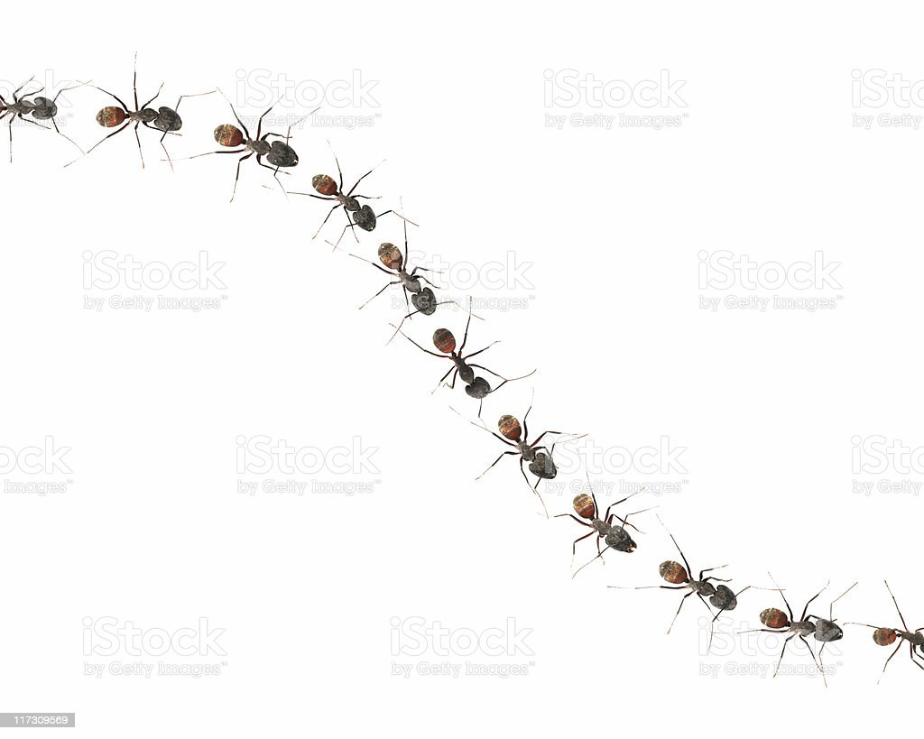 Marching ants (XXL) stock photo