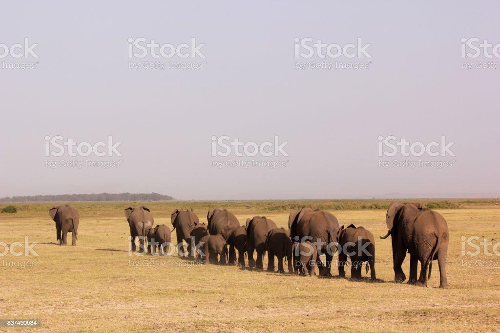 marching elephants stock photo