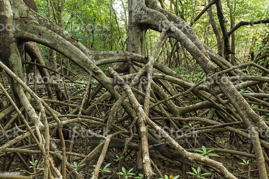 Marching Mangroves stock photo
