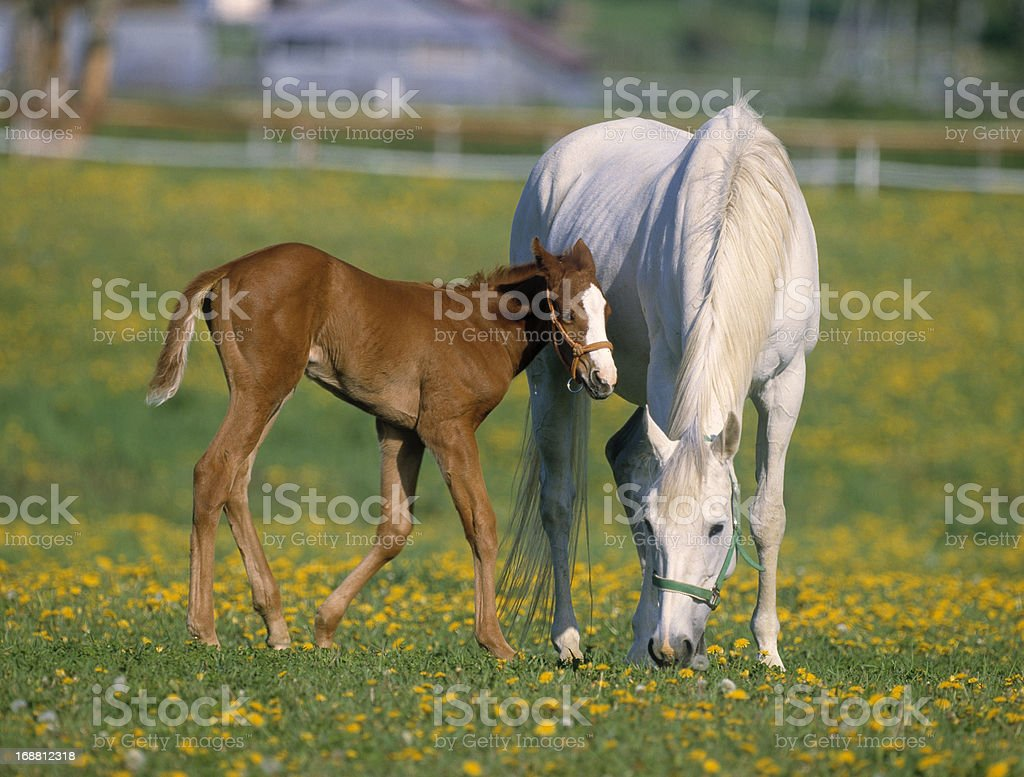 Mare and Colt on a ranch stock photo