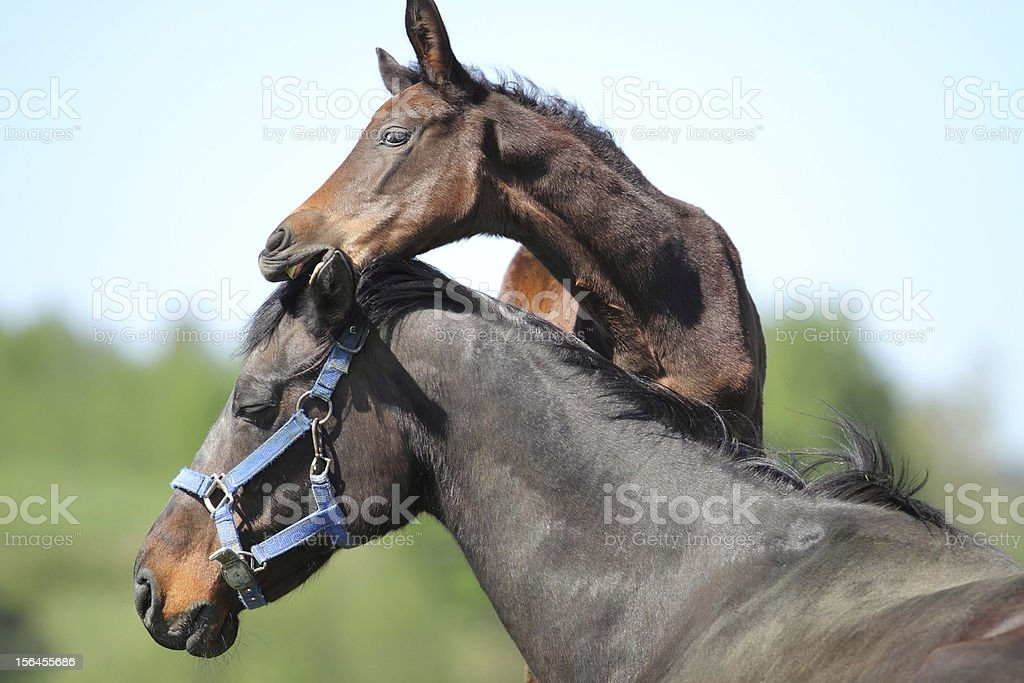 Mare and colt royalty-free stock photo