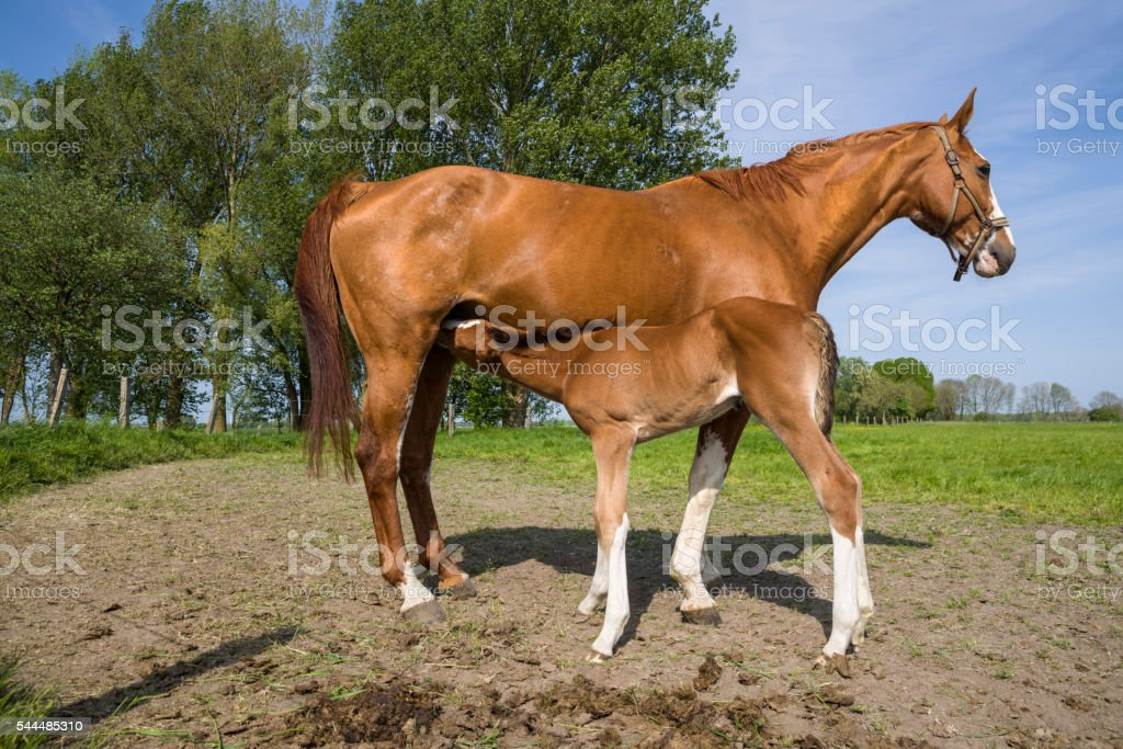 Mare and drinking foal on springtime pasture stock photo