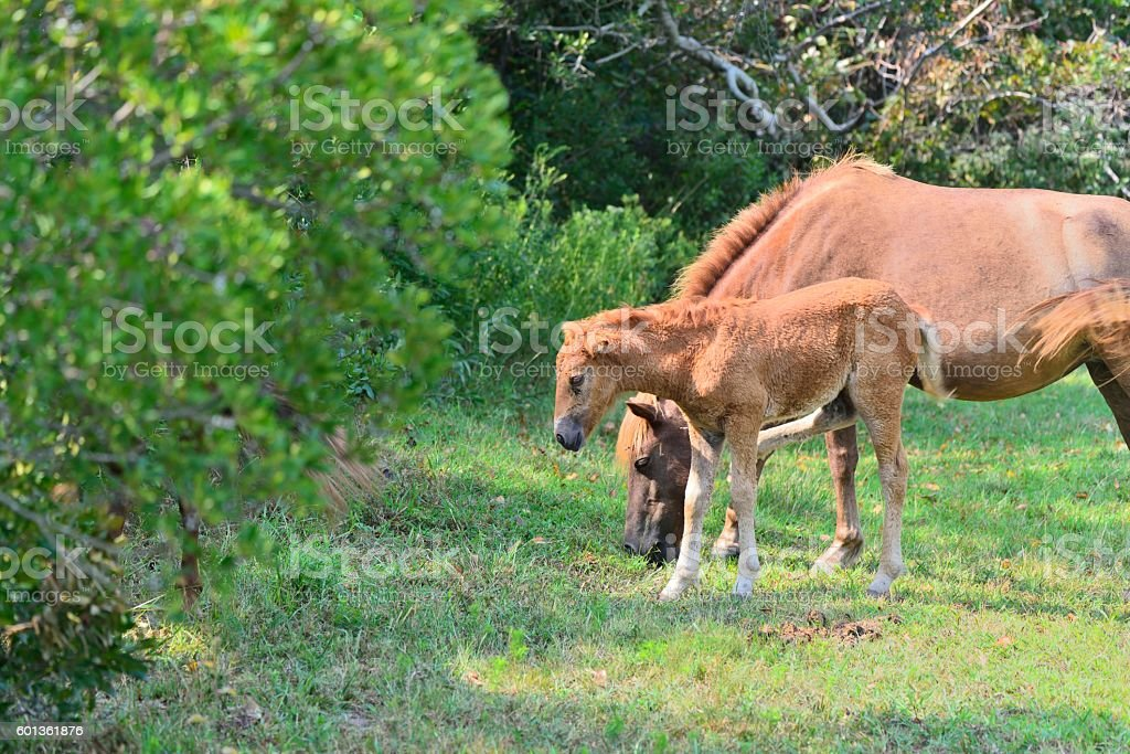 Mare and Foal Grazing on Assateague Island stock photo