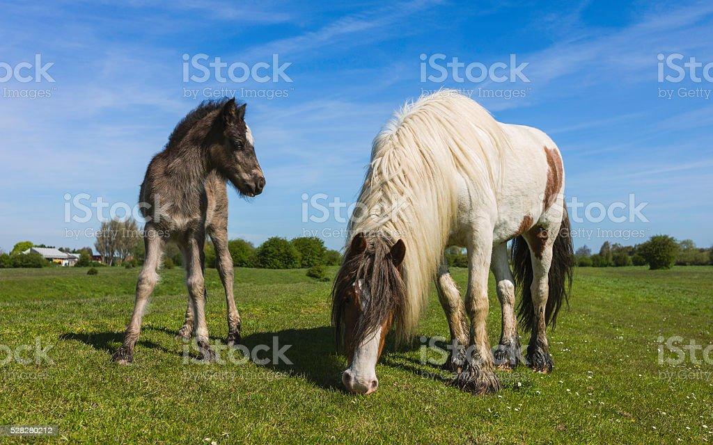 Mare and foal grazing on Swine Moor, Beverley, Yorkshire, UK. stock photo