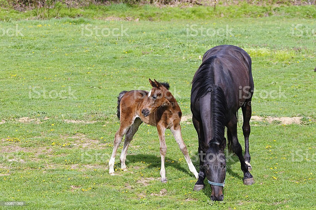 Mare and foal grazing stock photo