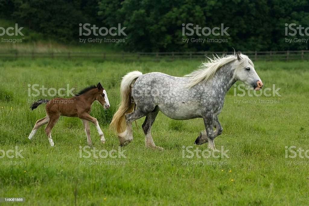 Mare and Foal Gyspy Horses Running across the field royalty-free stock photo