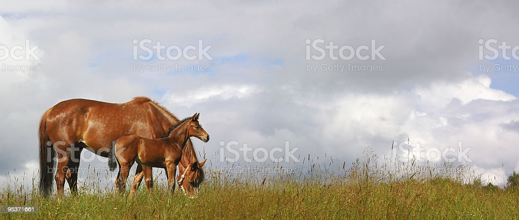 mare and foal in a field stock photo