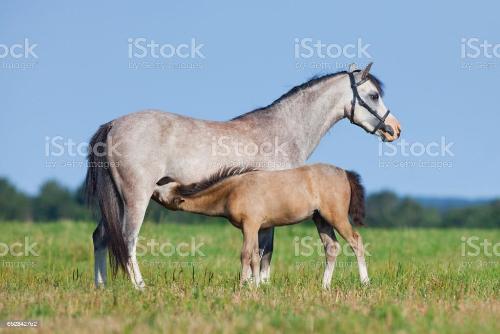 Mare and foal in field stock photo