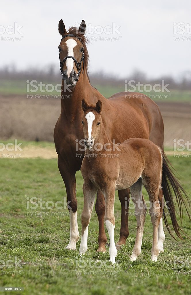 Mare and foal on the meadow stock photo
