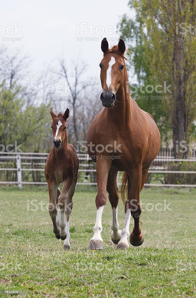 Mare and foal trotting royalty-free stock photo