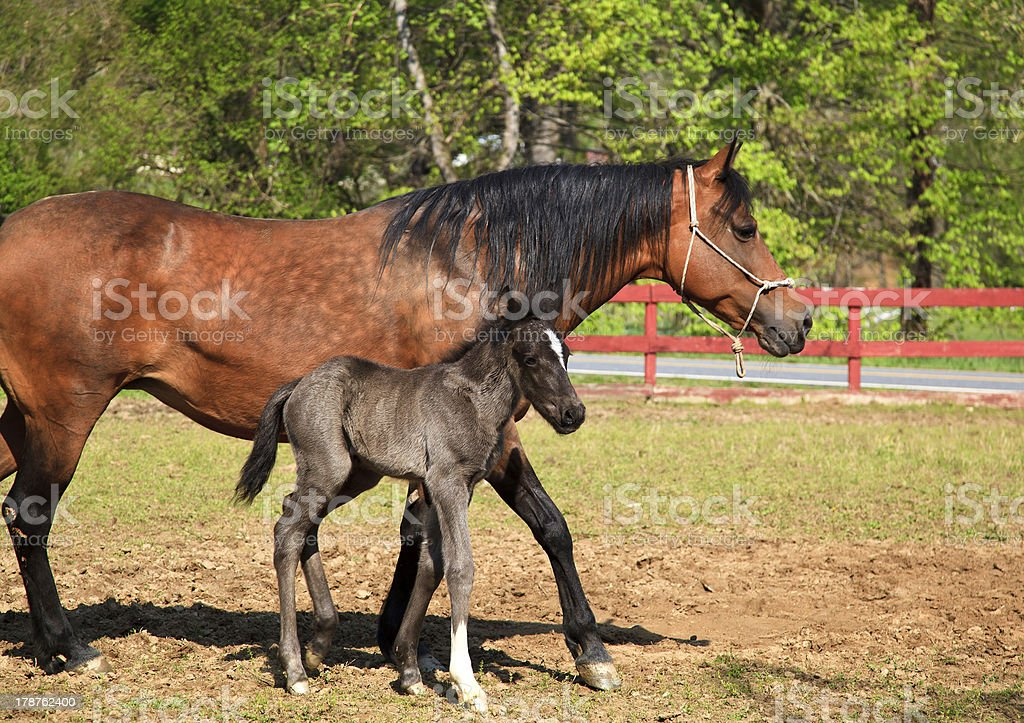 Mare Horse and Cute Colt stock photo
