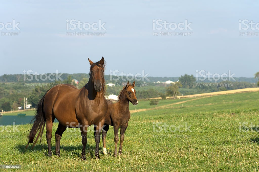 Mare with Colt in Pasture stock photo