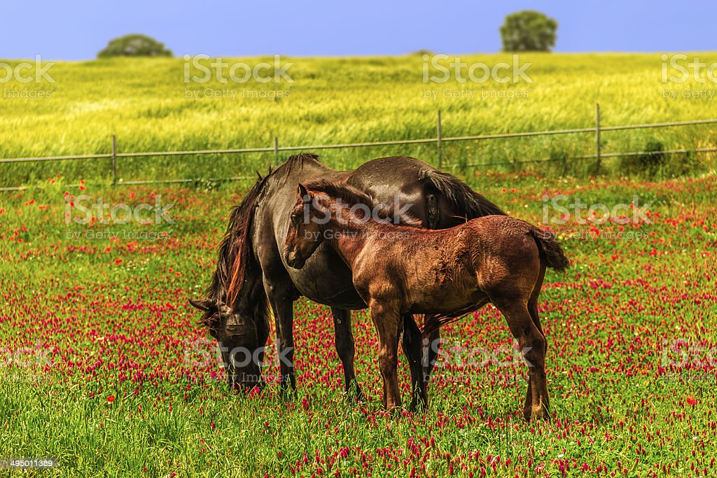 SPRING.RURAL LANDSCAPE : Mare with foal. - (Apulia) ITALY- stock photo